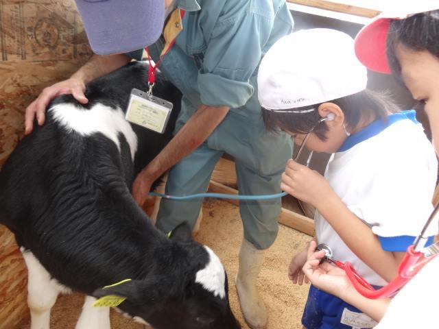 聴診器で牛を診る小学生